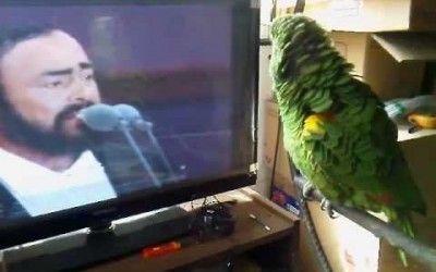 Un loro cantando por Pavarotti