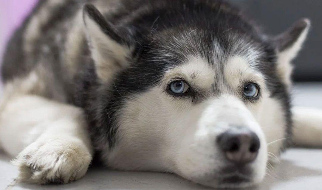 5 curiosidades que no conocías sobre el Husky Siberiano